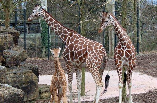 Giraffen in der Wilhelma Stuttgart: Jungbulle Nabil hat Abschied ...