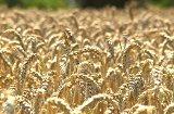 Ernte ist keinesfalls rekordverdächtig