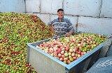 Wegen Russland-Krise: Obstpreis verfällt