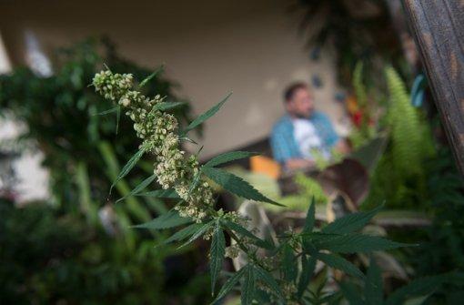 Cannabis – der Streit um eine Legalisierung dauert an. Foto: dpa