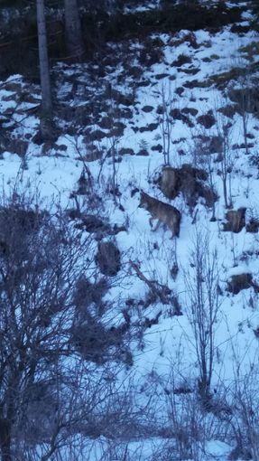 Der Saarländer Patrik Wagner hat bei seinem Schwarzwald-Urlaub am Montag bei Vöhrenbach offenbar einen Wolf gesichtet und schickte diesen spontanen Schnappschuss an die Redaktion des Schwarzwälder Boten.  Foto: Wagner