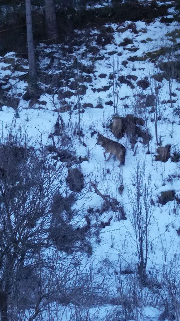 Vöhrenbach: Wolf im Schwarzwald gesichtet - Vöhrenbach ...