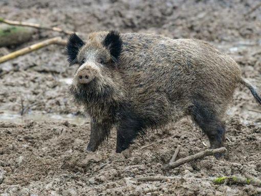 In Hechingen rannte ein Wildschwein durch Gärten. (Symbolfoto) Foto: dpa