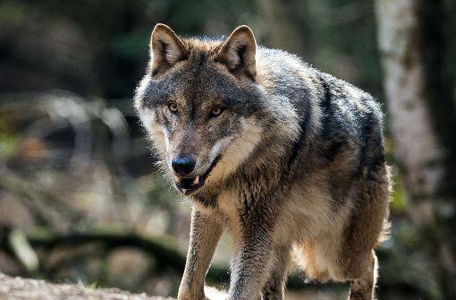 Jetzt steht fest, dass ein Wolf für die vergangene Woche bei Bad Wildbad getöteten Schafe verantwortlich ist. Fraglich ist, ob der Wolf im Nordschwarzwald geblieben ist. (Symbolbild) Foto: dpa-Zentralbild