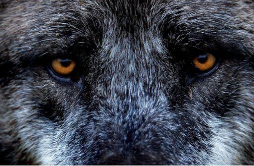Könnte sich im Kinzigtal bereits heimisch fühlen: der Wolf. (Symbolbild) Foto: dpa