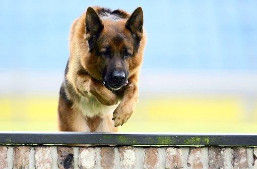 Ein Schäferhund hat einen 17-jährigen Rollerfahrer gleich mehrfach gebissen (Symbolfoto). Foto: dpa