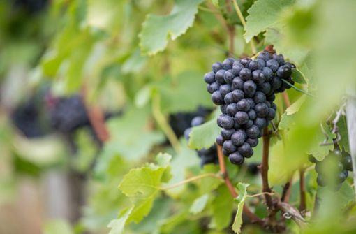 Der Regen war für den Weinbau sehr wichtig. (Archivfoto) Foto: dpa