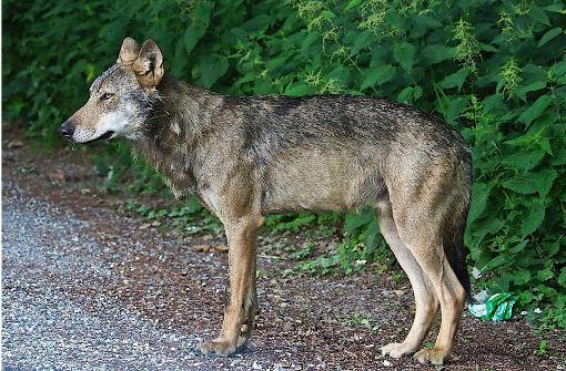 Ein toter Wolf wurde gefunden. Symbolbild.  Foto: dpa