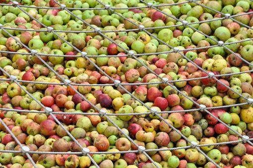 Wartet bei Stingel auf die Presse: ein Riesenhaufen Äpfel von den heimischen Streuobstwiesen.   Foto: Ungureanu Foto: Schwarzwälder Bote