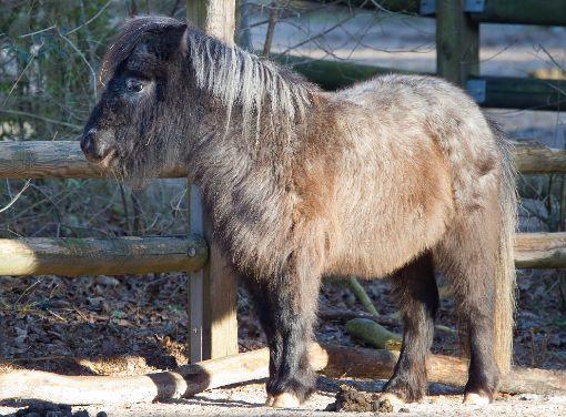 Ein Unbekannter hat einem Shetland-Pony den Schweif abgeschnitten. Das Tier ist vermutlich das zweite Opfer desselben Täters. (Symbolfoto) Foto: dpa