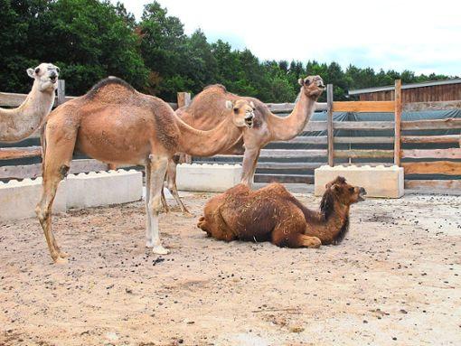 Kamele wird es wohl bald in Hechingen nicht mehr so oft zu sehen geben. Foto: Kübler