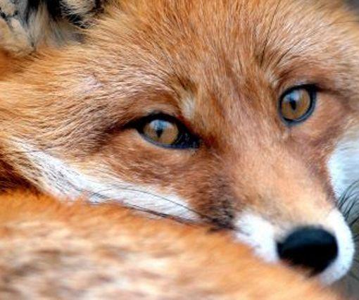 Weil er einem Fuchs ausgewichen ist, ist ein Autofahrer fast in einem Fischteich gelandet. (Symbolbild) Foto: dpa