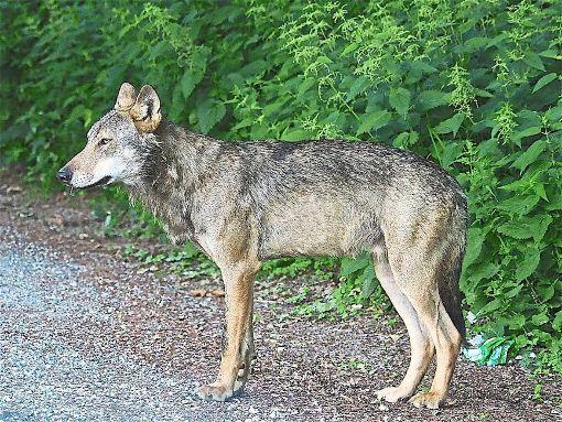 Der Wolf war in den vergangenen Wochen mehrfach  gesichtet worden.  Foto: Riegel/FVA