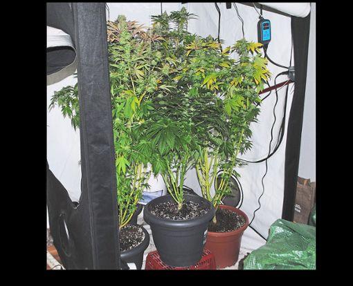 Die Cannabispflanzen stehen in voller Blüte. Foto: Polizei