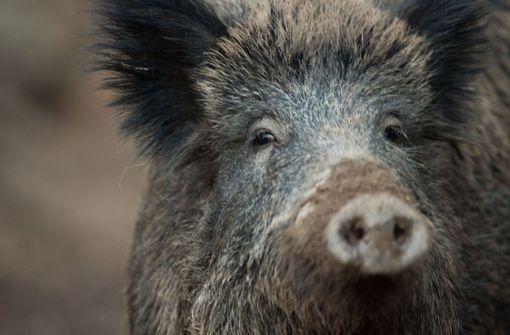 Immer größer wird  das Wildschweinproblem.  Dabei ist die Abschusszahl in Nagold hoch. (Symbolfoto) Foto: dpa
