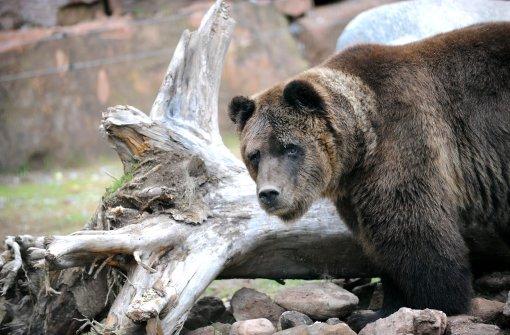 Im Bärenpark in Bad Rippoldsau-Schapbach leben Bären in freier Natur - allerdings unzugänglich für Menschen. Foto: Hopp