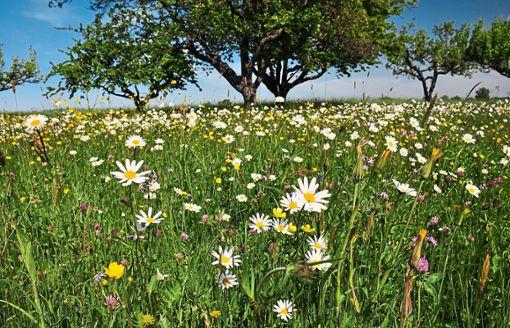 Wiesenpflege  steht bei vier Exkursionen im Mittelpunkt.    Foto: enz Foto: Schwarzwälder Bote