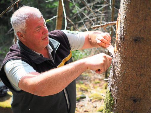 Andreas Wacker, Revierleiter in Bad Wildbad, schält mit einem Messer Rinde vom Baum, um diesen auf Käferbefall zu überprüfen.  Fotos: Mutschler Foto: Schwarzwälder Bote