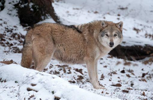 Ein Wolf steckt hinter dem Schafsriss bei Wolfach. Foto: dpa
