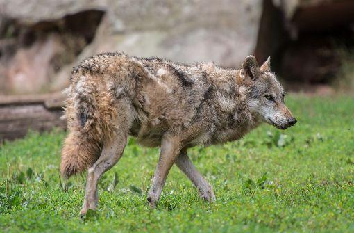 Der illegale Abschuss des einzigen baden-württembergischen Wolfes am Schluchsee hat Empörung ausgelöst. (Symbolbild) Foto: dpa