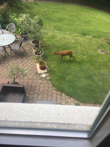 Uneingeladener Besuch: Ein Reh hat sich in einen Garten in Calw verirrt. Foto: Meyer