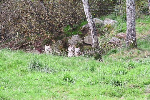 Sie suchen nach neuen Routen: Wölfe können weite Strecken zurücklegen. Foto: Archiv