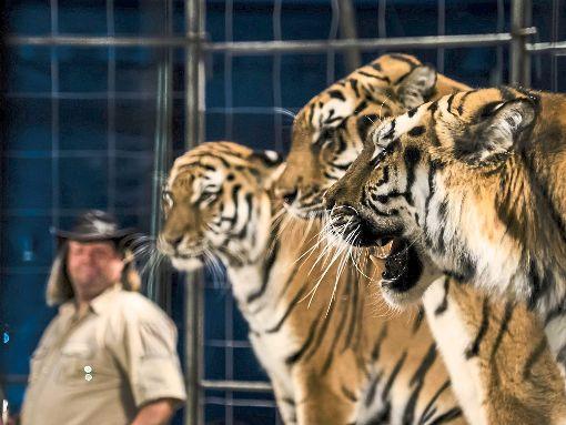 Wenig erfreut sind die Facebook-Nutzer wegen der sibirischen Tiger, die der Zirkus Manuel Weisheit im Programm hat. Nun haben Aktivisten sogar eine Mahnwache angemeldet, die in Horb vor dem Zirkus stattfinden soll. Foto: Zirkus Manuel Weisheit
