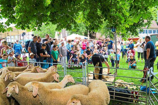 Die Schafschurvorführungen im Klosterhof waren sicher eine  der Hauptattraktionen.  Foto: Geisel