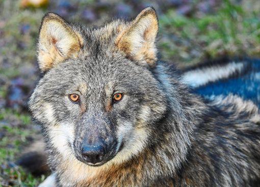 Das Thema Wolf erregt weiter die Gemüter. Foto: Pleul