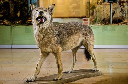 Der letzte in Württemberg erlegte Wolf steht präpariert im Staatlichen Museum für Naturkunde in Stuttgart auf dem Boden. Er wurde 1847 geschossen. Foto: dpa