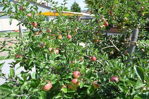 Wie die Apfelernte tatsächlich ausfällt, entscheidet die weitere Wetterlage.  Foto: Herzog Foto: Schwarzwälder Bote