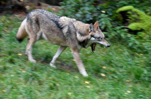 Experten bestätigten, dass es sich bei dem Vierbeiner tatsächlich um einen Wolf gehandelt hat. (Symbolfoto) Foto: dpa