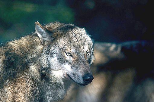 Wölfe sollen künftig leichter abgeschossen werden können, wenn sie Schafe und andere Nutztiere reißen. (Symbolfoto) Foto: Schwarzwälder Bote