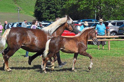 Die Fohlen werden mit den Muttertieren in Waldkirch im Laufring präsentiert.  Foto: Störr