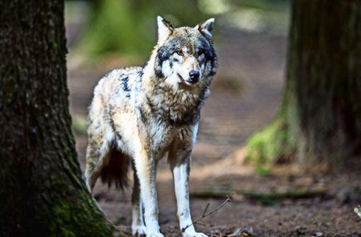Baden-Württembergs Umweltminister Franz Untersteller (Grüne) will Bad Wildbad noch im Mai zum ersten Wolfsgebiet des Landes erklären.  Foto: dpa