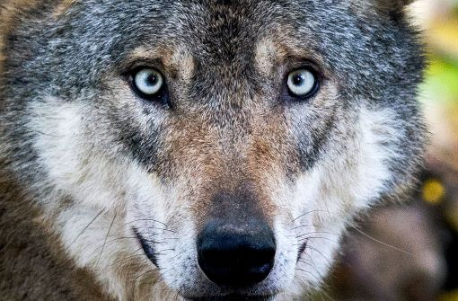 Zum ersten Mal seit mehr als 100 Jahren hat ein Wolf in Baden-Württemberg nachweislich Schafe gerissen. (Symbolfoto) Foto: dpa