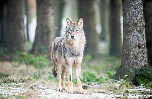 Der Wolf ist ein Tier, zu dessen Wiedereingliederung in die heimische Landschaft es sehr zwiespältige Gefühle gibt.  Foto: dpa