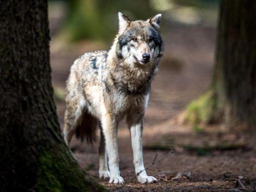 Ein Wolf im Wildpark. Foto: Alexander Heinl/Archiv/dpa