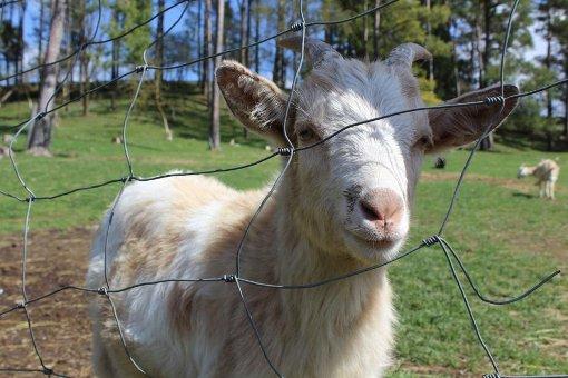 Ziegen, Damwild und freilaufende Hähne: Im Tiergehege Waldmössingen gibt es Natur und Landwirtschaft zu erleben. Foto: Schickle