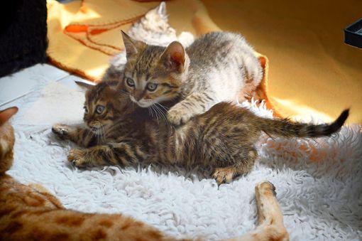 Die kleinen Rassekatzen waren zuvor aus einem Animal-Hoarder-Haushalt gerettet worden.  Foto: Cools