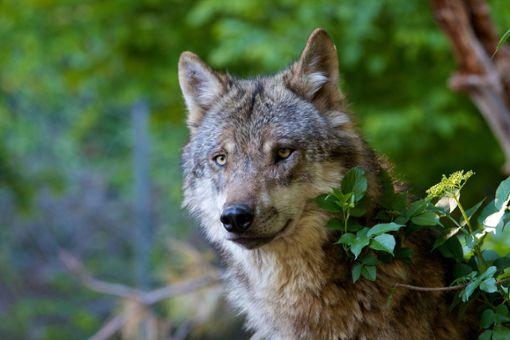 Nach der Rückkehr des Wolfes herrscht in der Region vielerorts Unsicherheit. (Symbolfoto) Foto: © ARC photography – stock.adobe.com