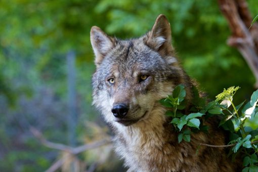 Faszinierender Räuber: Der Wolf (Symbolbild) Foto: © ARC photography – stock.adobe.com