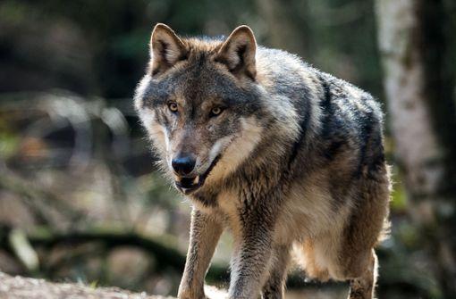Jetzt ist es amtlich: Der Wolf, der im April 20 Schafe bei Bad Wildbad getötet hatte, ist auch für die Schafsrisse in Reichental bei Gernsbach verantwortlich. Foto: dpa-Zentralbild