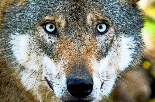 Experten bestätigen eine Wolfssichtung bei Pfalzgrafenweiler. Foto: dpa
