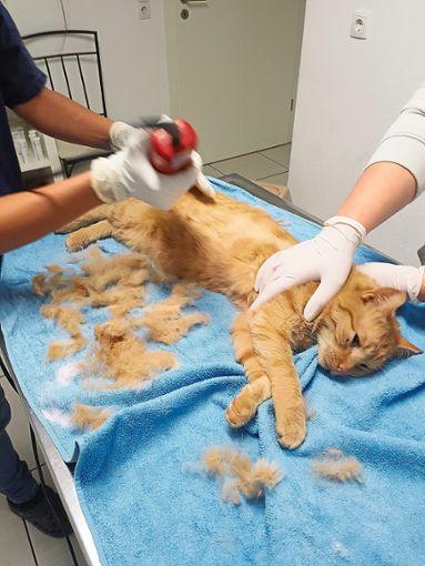 Beim Tierarzt musste Gismo komplett rasiert werden.  Foto: Lebherz