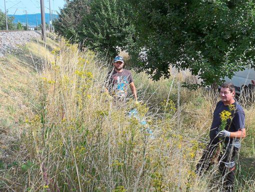 Fleißige Helfer haben das giftige Jakobskreuzkraut in Steinach dezimiert. Foto: privat