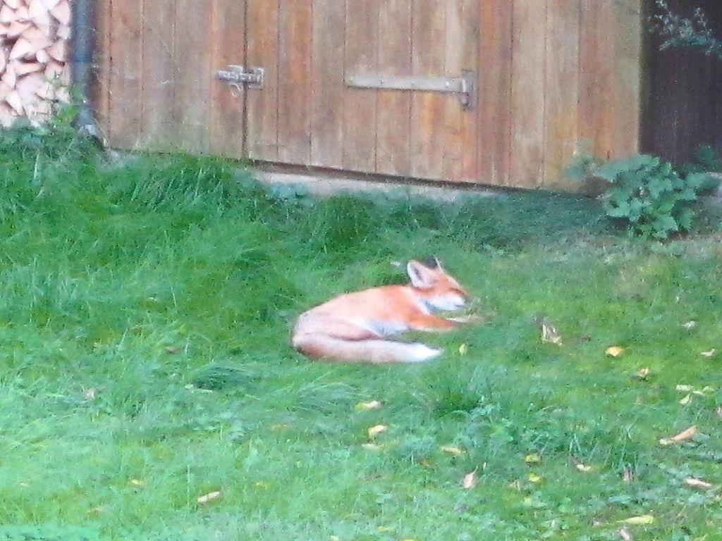 Genial Keine Scheu: Am Helllichten Tag Macht Ein Fuchs Im Garten Von Familie Mayer  Einen Mittagsschlaf