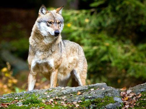 In Baden-Württemberg ist nach Zahlen des Umweltministeriums bislang ein Wolf sesshaft geworden, im Nordschwarzwald. (Symbolfoto) Foto: Patrick Pleul/Archiv/dpa