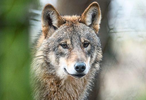 Die Gerüchteküche brodelt: In 24-Höfe soll ein Wolf ein Kalb gerissen haben.  Foto: Thissen