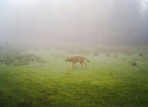 Der Wolf war in der Fotofalle aufgenommen worden. Foto: Stadt Bad Wildbad